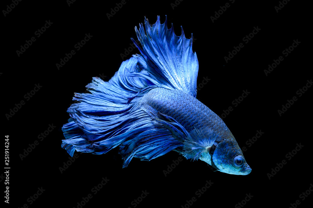 Fototapeta Blue fighting fish isolated on black background