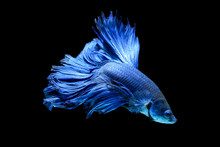Blue Fighting Fish Isolated On...