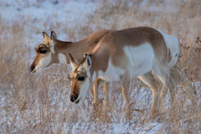 Pair Of Pronghorn Does