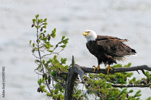 Obraz na plátně  Bald Eagle standing on Douglas Fir Tree, Vancouver Island, British Columbia, Can