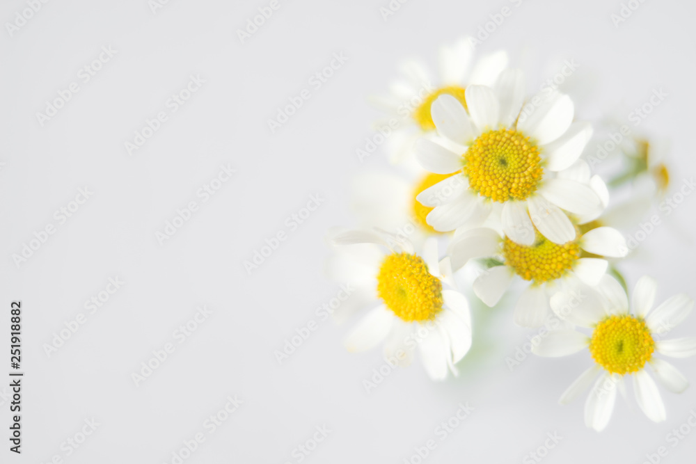 Fototapety, obrazy: Fresh white chamomile flowers in soft and blur style. Flower background with copy space.
