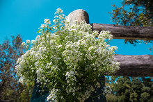 Garden Bed Of White Sweet Alyssum Flowers