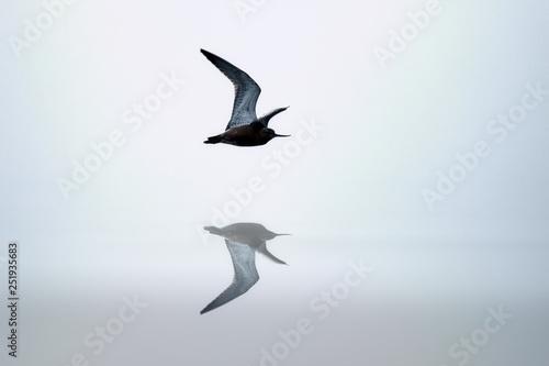 Fényképezés  Pacific godwit flies over the mirror of quiet water