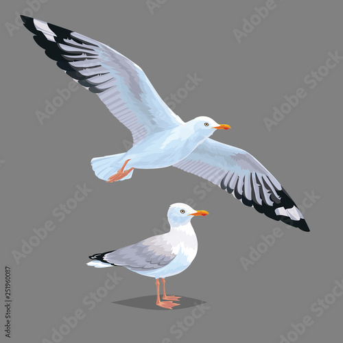 Fotomural Realistic bird Seagull isolated on a grey background