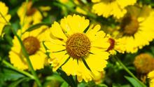 Common Sneezeweed Or Helenium ...