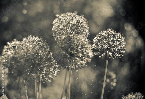Fotografía  Alium Gigantium Flower Head  with dandelion flower structure