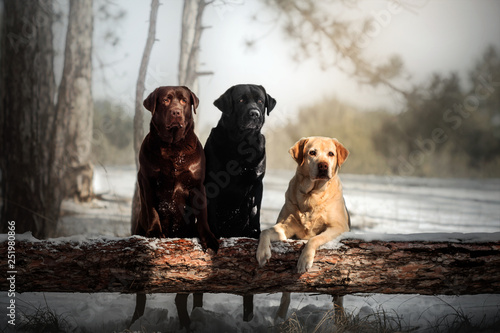 three labrador retriever dogs of different colors walking in a snowy forest bea Canvas Print