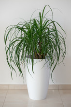 Ponytail Palm Houseplant