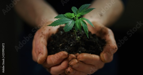 Fototapeta Close up of agronome hands keeping a sprout of biological and ecological hemp plants used for herbal pharmaceutical cbd oil outside the greenhouse. obraz