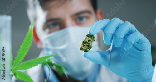 Portrait of scientist with mask and gloves checking and analizing a biological and ecological hemp plant used for herbal pharmaceutical cbd oil in a laboratory Canvas Print