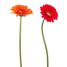 Orange And Red Gerbera