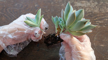 Hands Separating Succulent Off...