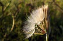 Seedhead Of Yellow Salsify