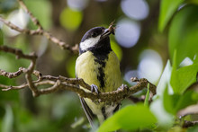 Great Tit Bird Eating Insect B...