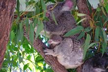 A Mother Koala With A Baby Joe...