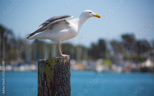 Fotografia California gull perching on a post in Berkeley Marina