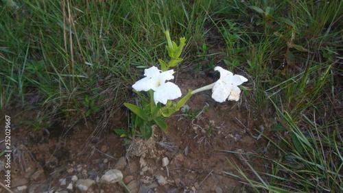 Fotografie, Obraz  Pequeña flor blanca en la loma