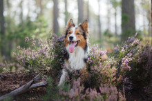 Dog In Heather Colors. Nova Sc...