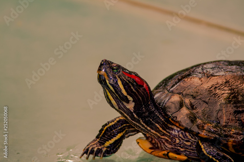 Fotografía  Close up from a fantastic colored turtle