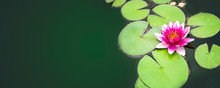 Beautiful Water Lily Flower In The Pond Surrounded By Green Leaves. Long Cover
