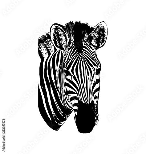 Poster Zebra Zebra vector hand drawn graphic illustration on white background