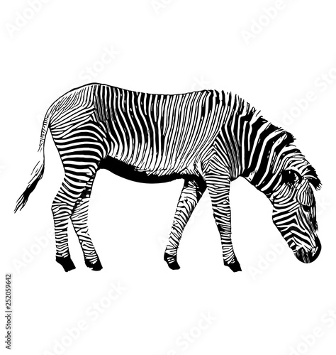 Keuken foto achterwand Zebra Zebra vector hand drawn graphic illustration on white background