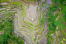 Aerial View Of Terraced Rice F...