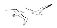 Albatross And Sea Mew Flying. ...