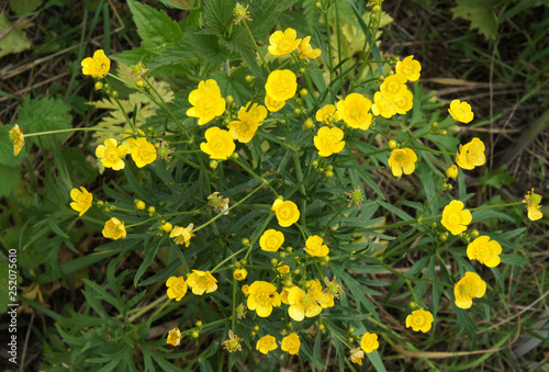 Photo Ranunculus acris flowers