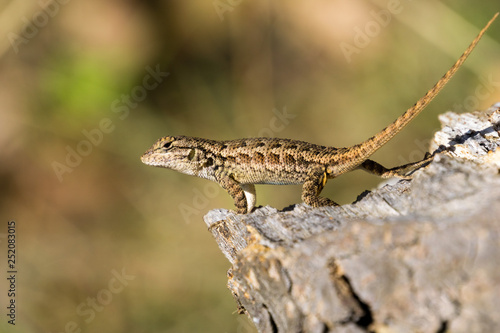 Photographie  Young Western Fence Lizard, California; blurred background