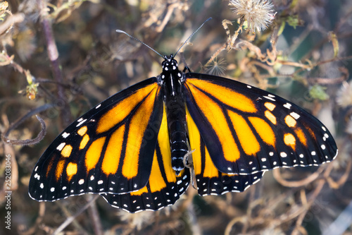 Female monarch butterfly with wings spread, California