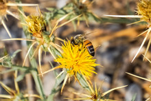 Bee Pollinating Yellow Star Th...