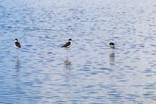 Black-necked Stilt Feeding In The Wetlands Of Alviso Marsh, South San Francisco Bay, San Jose, California