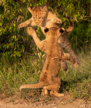 Lion Cubs Playing And Leaping