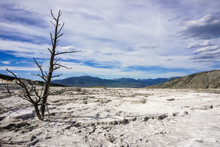 Dead Trees On The Travertine Terraces Of Mammoth Hot Springs, Yellowstone National Park