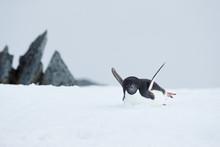 Adelie Penguin Slides On Its B...
