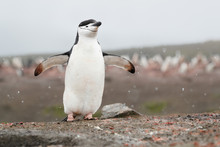Chinstrap Penguin With Flippers Spread