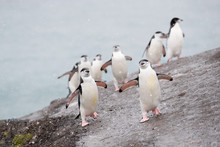 Chinstrap Penguins Walking Ove...
