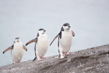 Chinstrap Penguins Walk In A Line