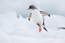 Gentoo Penguin Jumps Over Blocks Of Ice