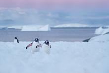 Two Gentoo Penguin Walk Throug...