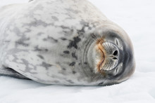 Close Up Of Weddell Seal Sleeping In Snow