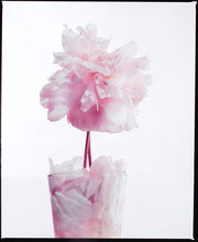 Pale Pink Peony In Glass Of Petals