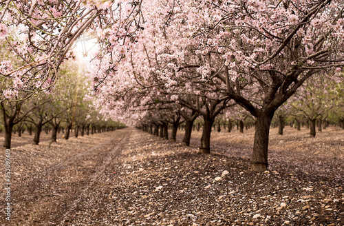 Photo  Blossom almond trees in spring orchard . Shallow depth of field