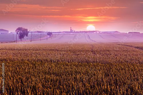 In de dag Koraal Summer rural landscape: wheat field at sunset, road along the field_