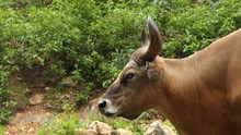 Banteng Male Stand And Walking Down From Mountain.4k