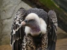 Trigonoceps Occipitalis - White Headed Vulture Portrait View