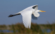 In-Flight Graceful Great Egret