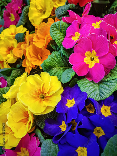 Papiers peints Pansies Blooming multi-colored pansy flowers in close-up as a floral background.