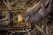 Mouse In A Mouse. Mousetrap With A Gnawed Piece Of Cheese Against The Backdrop Of The Hay In The Shed, Into Which A Small Rat Was Caught.